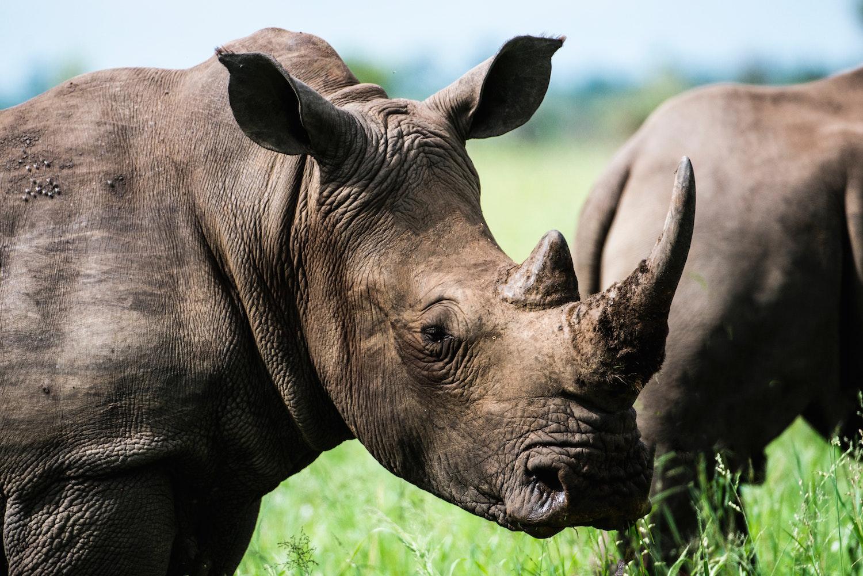 Vědci vyrobili umělý roh nosorožce vyrobeného z hedvábí a žíně